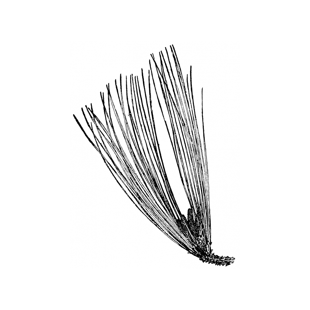 Gallery For gt Pine Needle Drawing