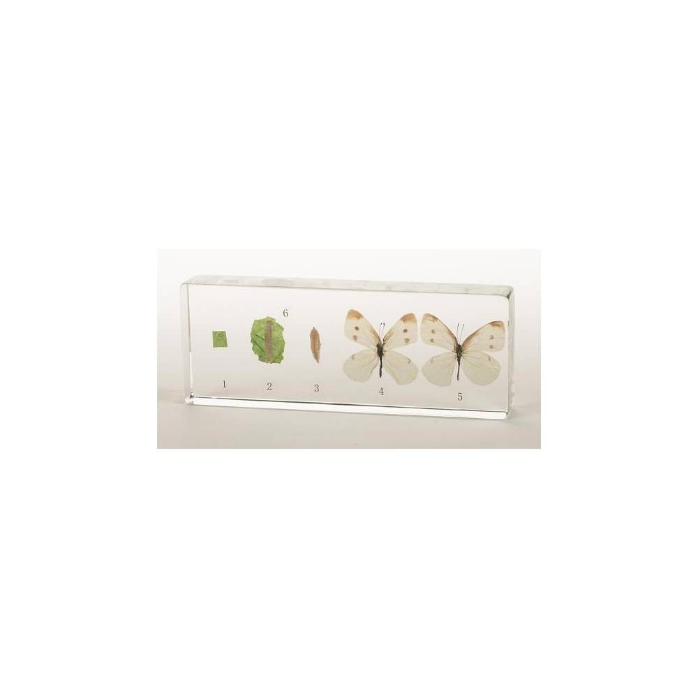 Insect Life Cycle Acrylic Block Displays