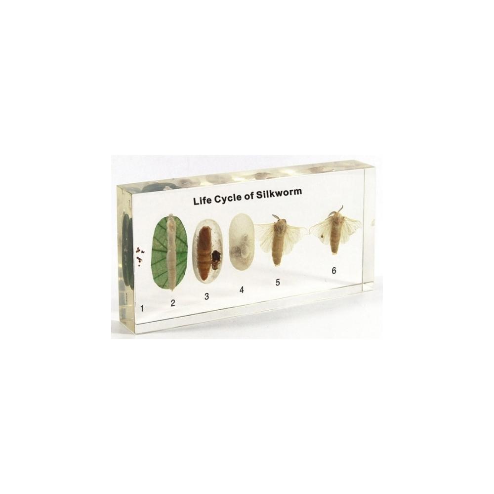 Silkworm Life Cycle Acrylic Block - Silkworm Life Cycle Display