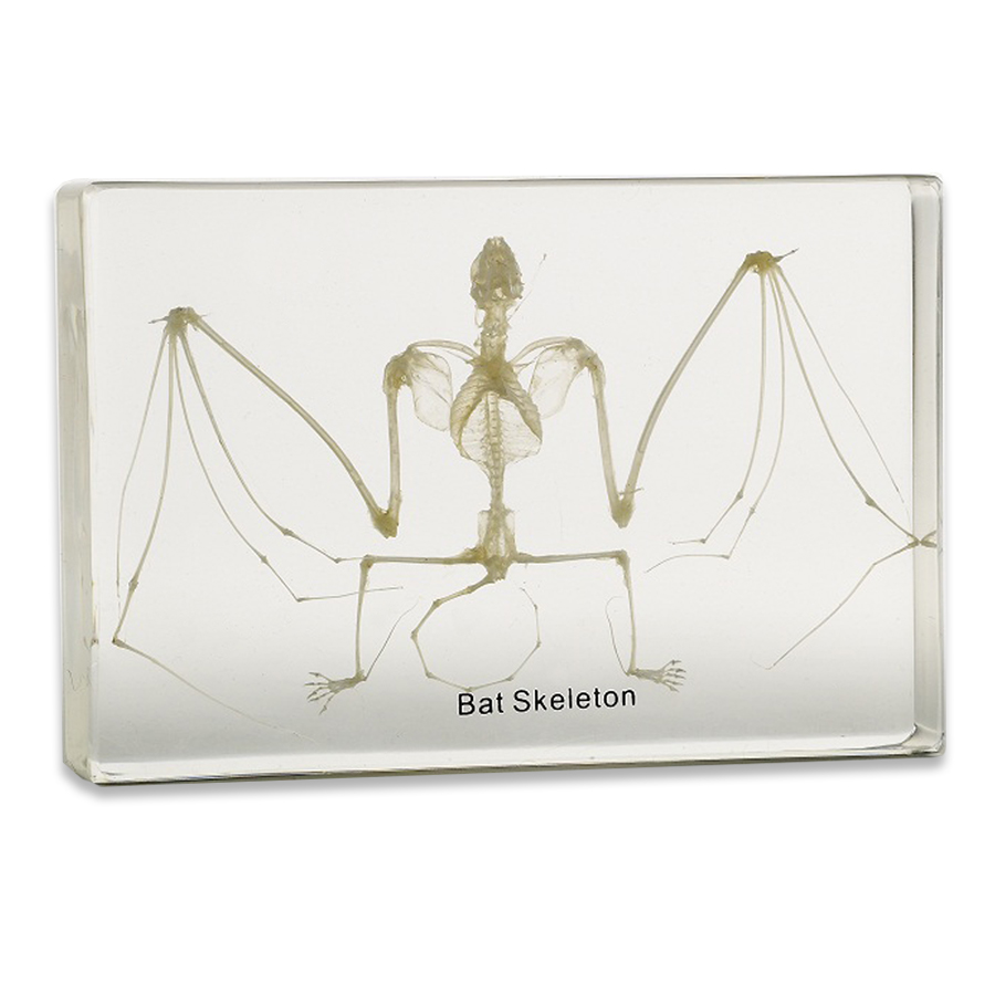 Framed & Mounted Bat Skeleton Display | Real Skeleton Of A Bat\'s ...