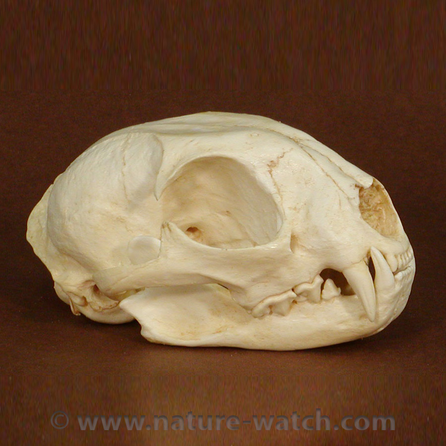 Animal Skull Replicas for Kids | Nature Watch