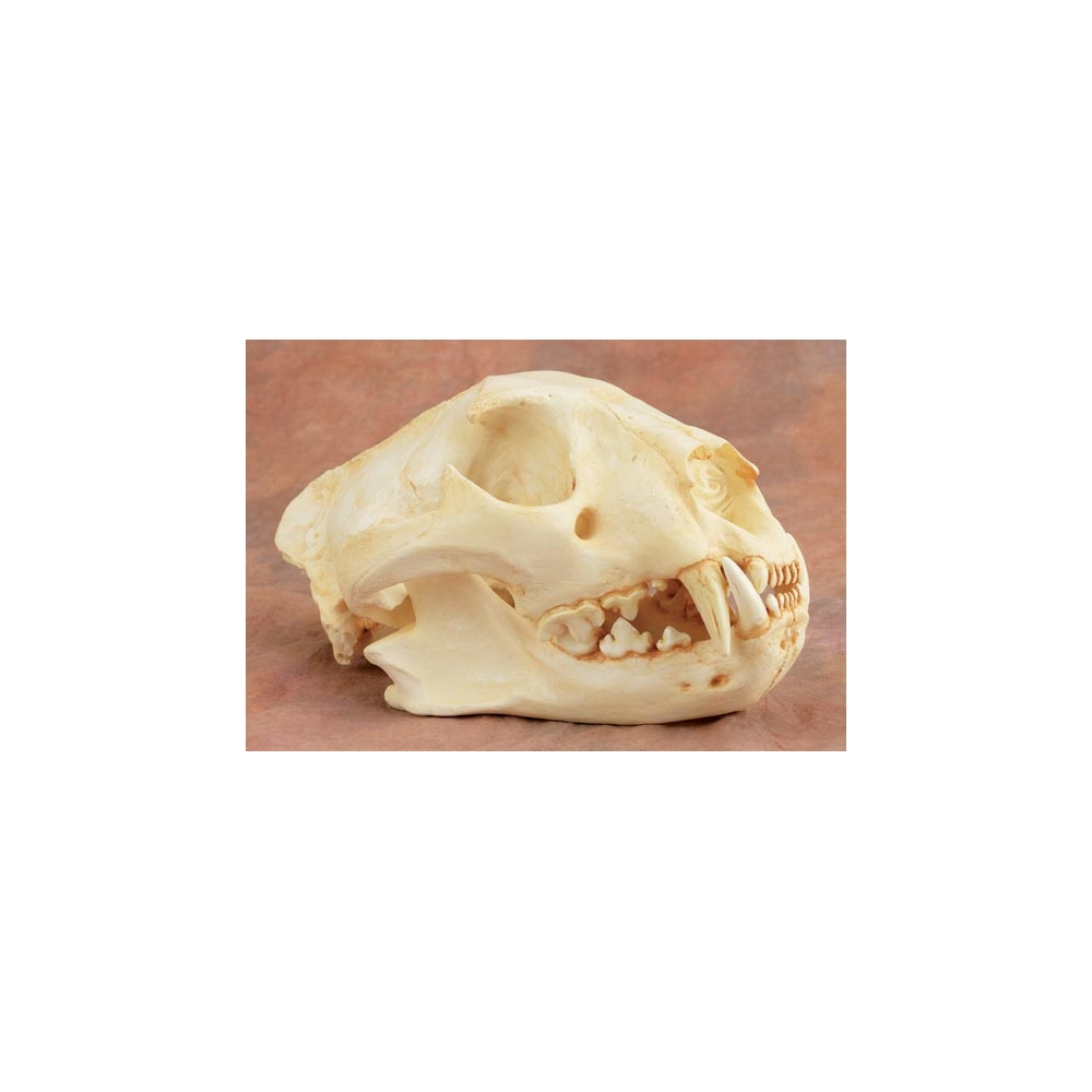 Clouded Leopard Skull (Neofelis Nebulosa) - they have the longest ...