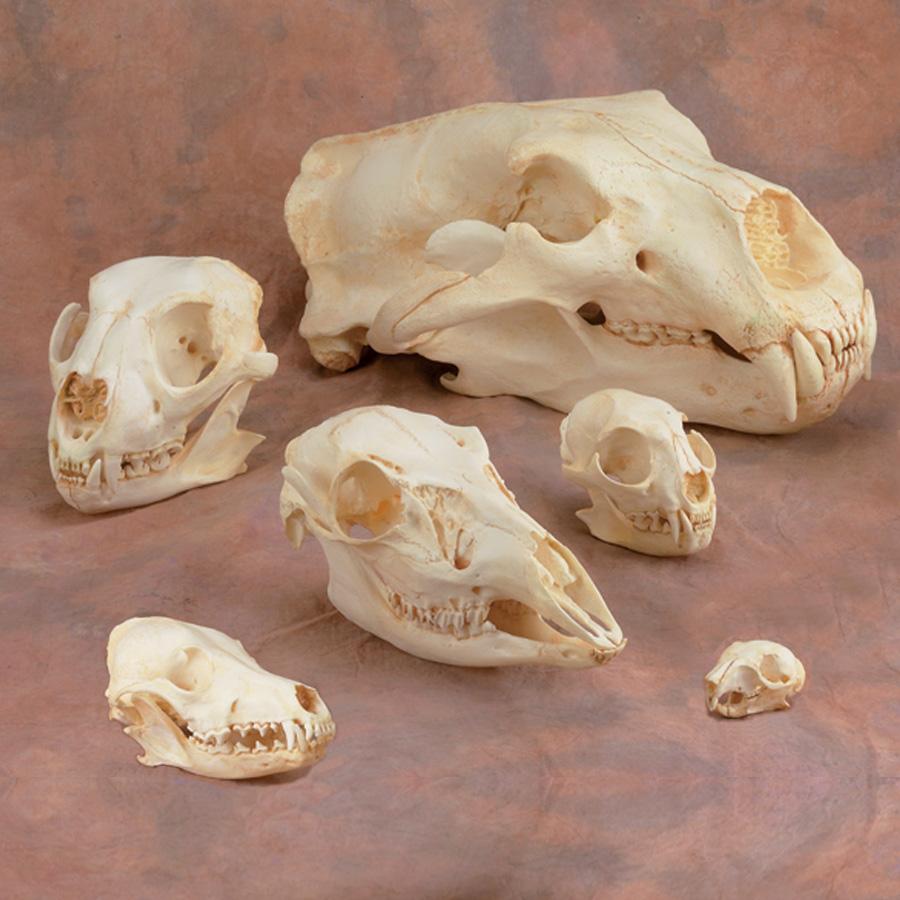 Animal Skull Replicas: Replicas of Animal Skulls - Skulls Bones Replicas
