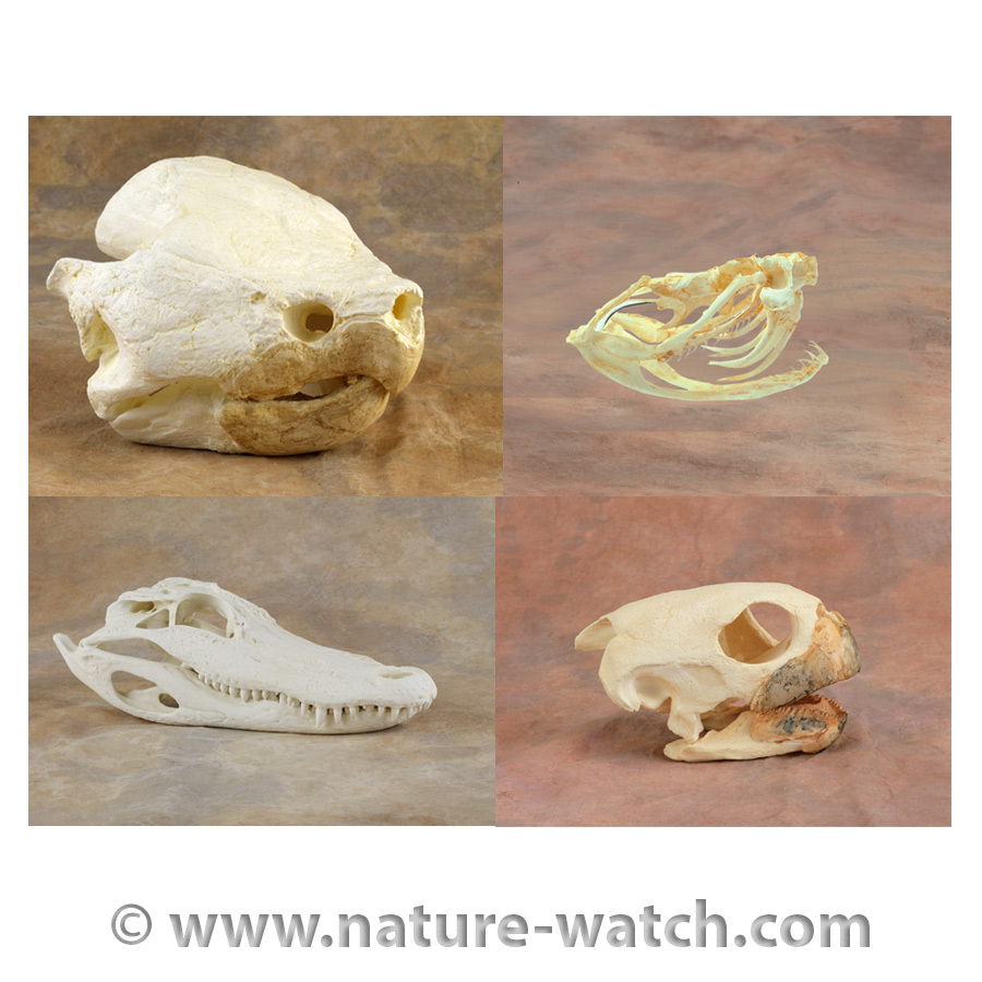 Reptile And Amphibian Skull Replicas Animal Snake Skeleton Diagram The At Very