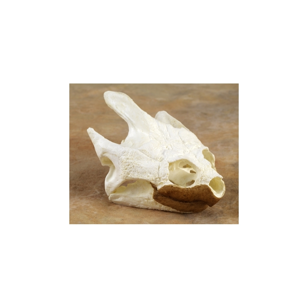 Common Snapping Turtle Skull Replica