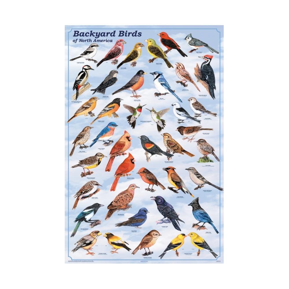 Backyard Birds Of North America Poster North American