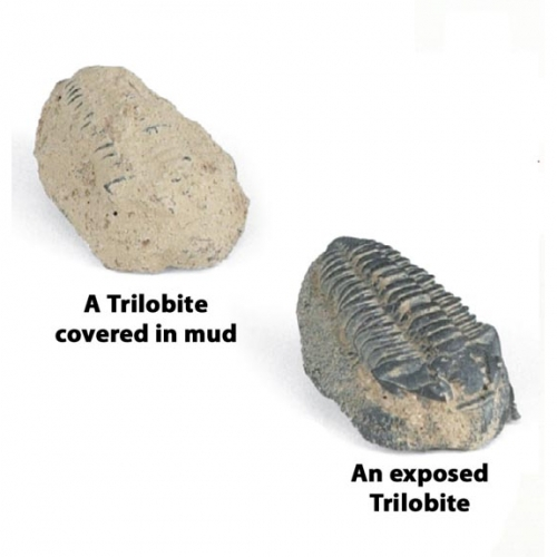 Trilobites (Pack of 25)