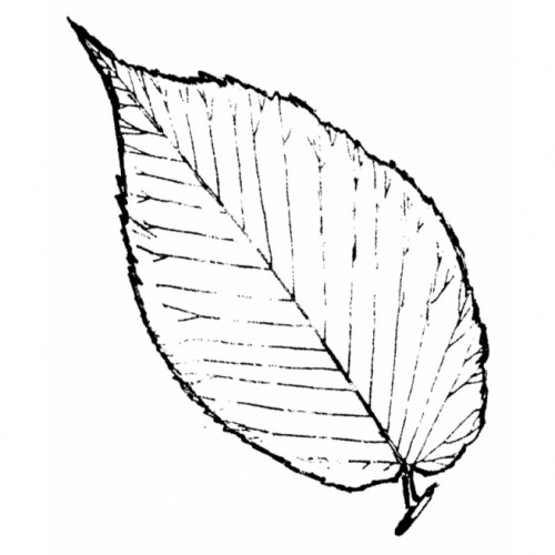 Elm Leaf Rubber Stamp