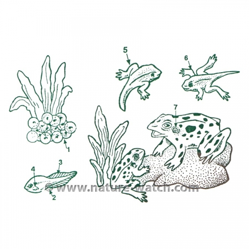 Frog Life Cycle Stamps