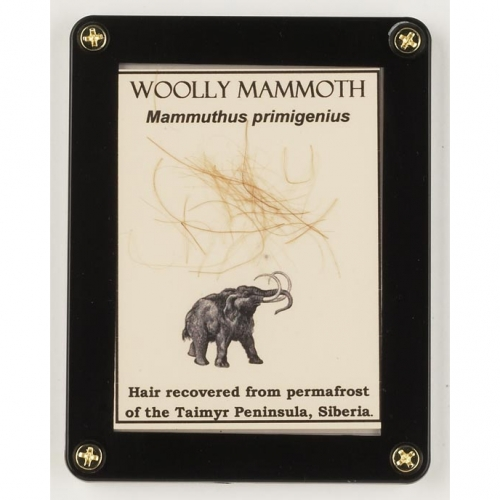 Real Woolly Mammoth Hair Display