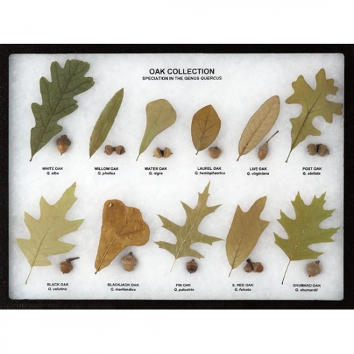 Oak Collection Display