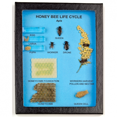 Honey Bee Life Cycle Display