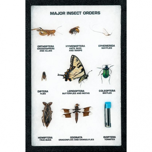 Major Insect Order Display