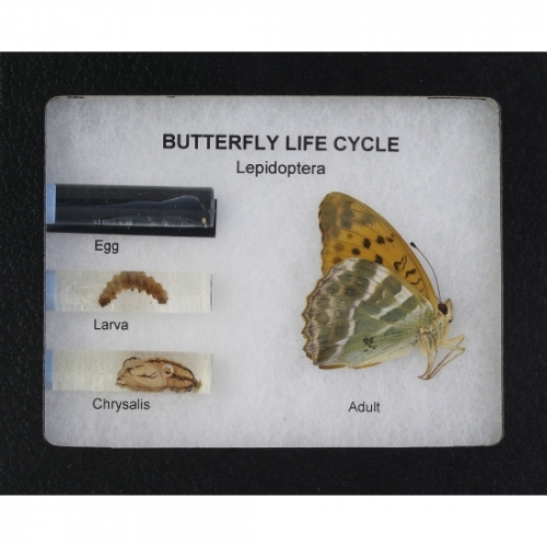 Butterfly Metamorphosis Display