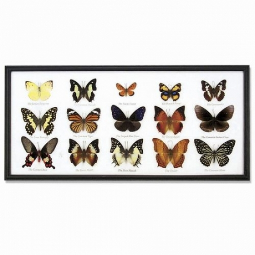 Real Butterfly Display (with 15 butterflies)