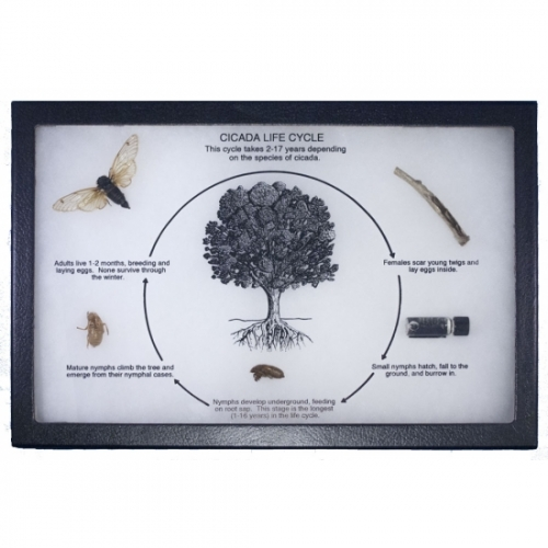 Cicada Life Cycle Display