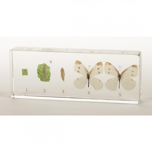 Insect Life Cycle Acrylic Blocks