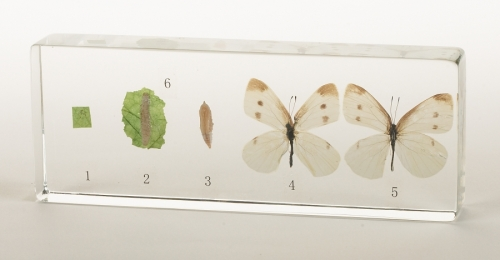 Cabbage Butterfly Life Cycle Acrylic Block