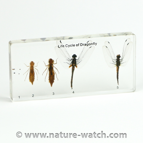 Dragonfly Life Cycle Acrylic Block