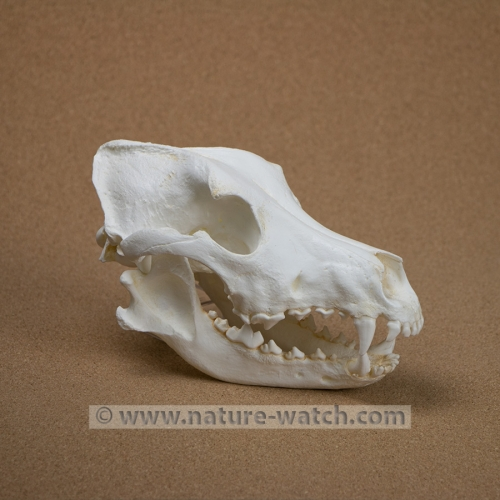 German Shepherd Dog Skull Replica