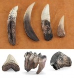 Teeth from Prehistoric Times Set (7 teeth)
