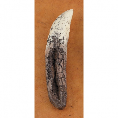 T-Rex Tooth Replica