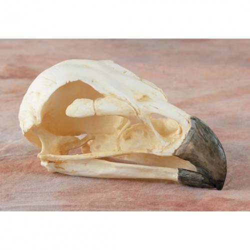 Golden Eagle Skull Replica
