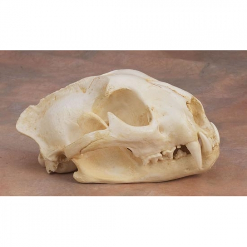 Mountain Lion Skull Replica