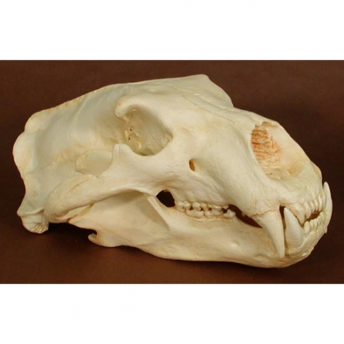 Polar Bear Skull Replica