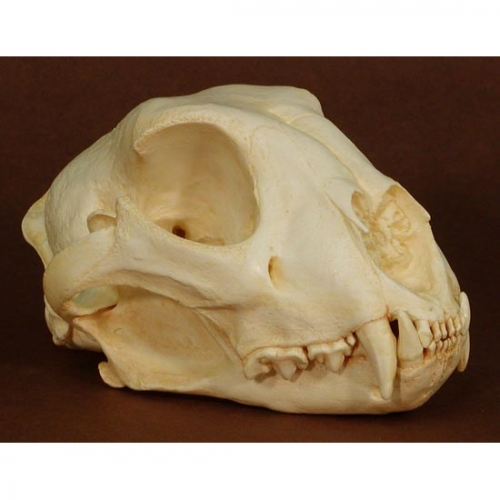 Cheetah Skull Replica
