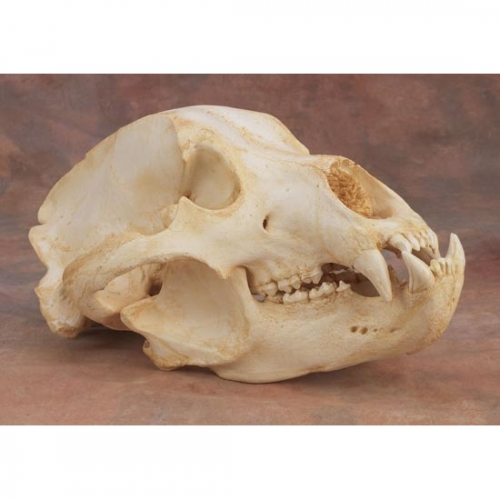 Grizzly Bear Skull Replica