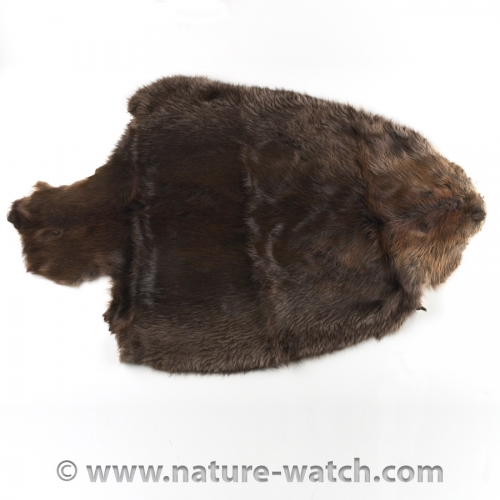 Beaver Skull Replica: Replica Beaver Skulls - Skull Bone