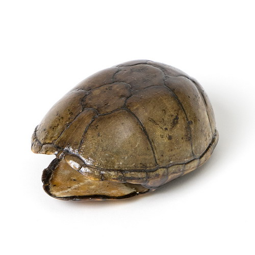 Stink Pot Turtle Shell