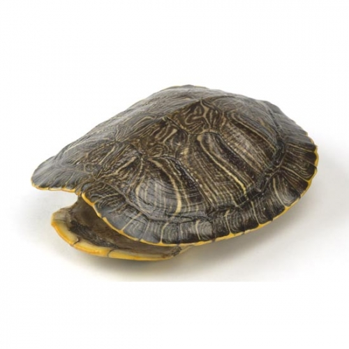 Red Eared Turtle Shell