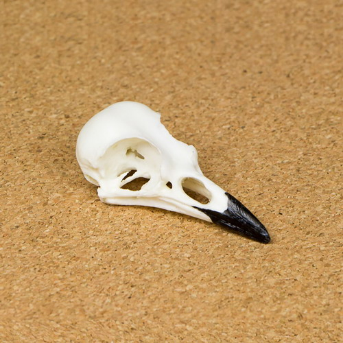 Blue Jay Skull Replica