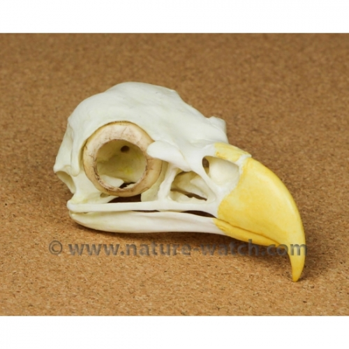 Bald Eagle Skull Replica