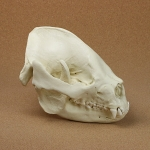 Giant Panda Skull (Adult) Replica