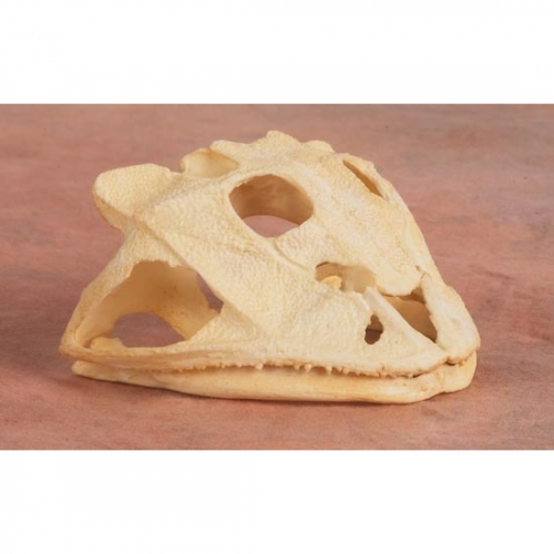 Brazilian Horned Frog Skull Replica