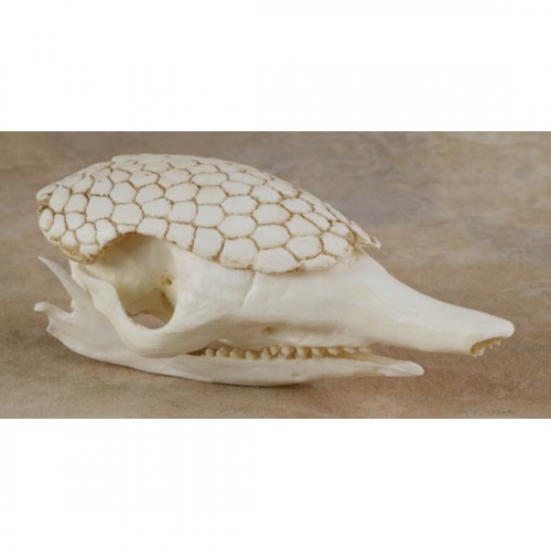 Armadillo Skull Replica (Long Nosed)