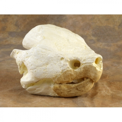 Alligator Snapping Turtle Skull Replica