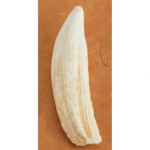 Elephant Seal Tooth Replica