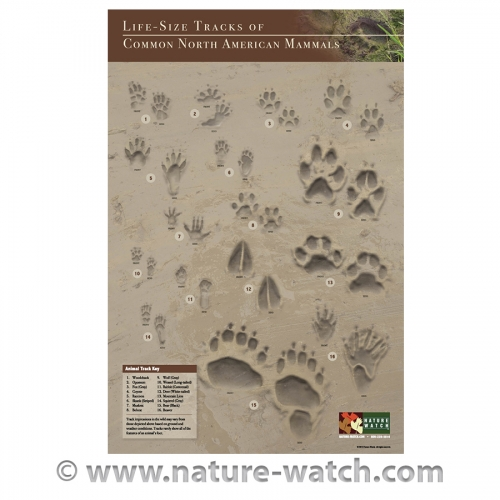 Life-Size Tracks of Common North American Mammals Poster