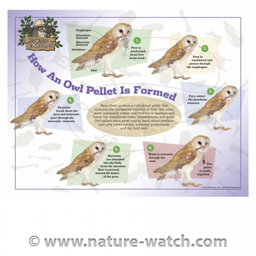 How An Owl Pellet is Formed Poster-New Version
