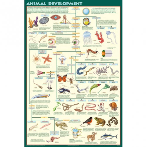 Animal Development Poster