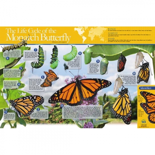 Life Cycle of the Butterfly Poster