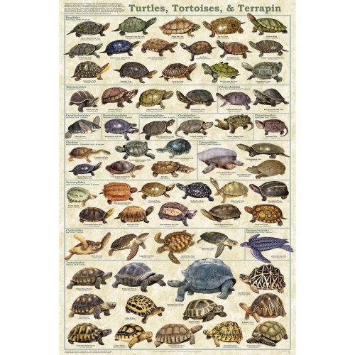 Turtles, Tortoises, and Terrapin Poster
